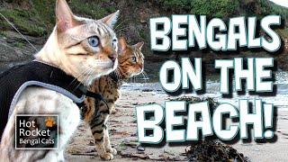 getlinkyoutube.com-Talking Bengal cats on the beach! Rocket & Pixel at the seaside (Full HD)
