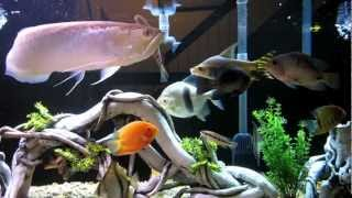 getlinkyoutube.com-180 Gallon Fish Tank with black arowana