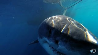 getlinkyoutube.com-One of the Biggest Great Whites Ever Filmed | Jaws Strikes Back
