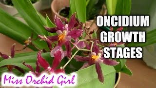 getlinkyoutube.com-Growth stages of Oncidium Orchids
