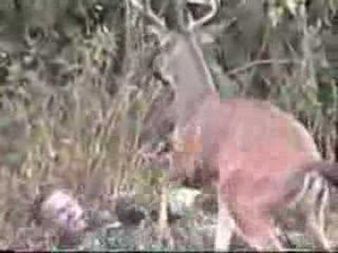 Deer Gets Revenge on Hunter