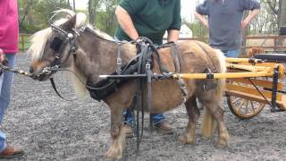 "getlinkyoutube.com-""Driving Charisma"" - How To Harness and Drive a Pony or Miniature Horse"