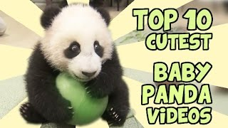getlinkyoutube.com-TOP 10 CUTEST BABY PANDA VIDEOS