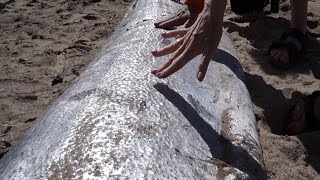 getlinkyoutube.com-Why Are Deep Sea Oarfish Appearing On Beaches Around The World?