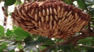 getlinkyoutube.com-Insetos venenosos, Marimbondo e Vespas, poisonous insects,