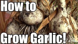 getlinkyoutube.com-How We Grow, Cure & Store Garlic: From Clove to Bulb