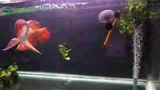 getlinkyoutube.com-Chili Red Asian Arowana Feeding - In memory of....