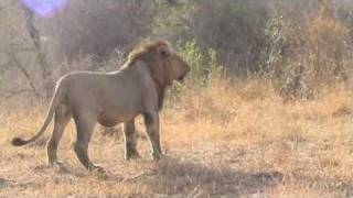 getlinkyoutube.com-Female lions fighting for their cubs