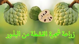 زراعة شجرة القشطة من البذور| cherimoya | 1