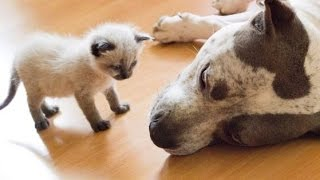 getlinkyoutube.com-Best Of Dogs Meeting Kittens For The First Time Compilation 2015