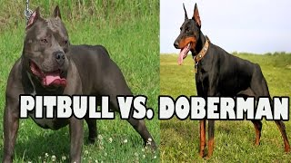 getlinkyoutube.com-PITBULL VS DOBERMAN FIGHT | Pitbull Dog vs Doberman
