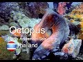 Octopus in the Andaman Sea | Octopus