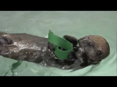 Sea Otter Pup Plays - Shedd Aquarium