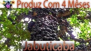 getlinkyoutube.com-JABOTICABA PRODUZINDO EM 4 MÊSES FRUTA JABUTICABA NATUREBA Sítio GilSat