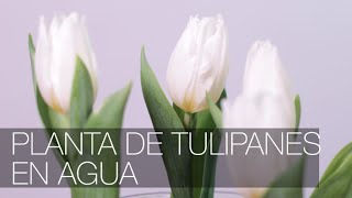 getlinkyoutube.com-Tulipanes en Agua