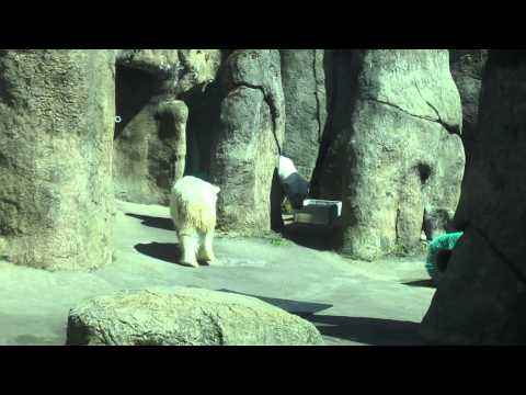 Anxious Polar Bear at Oregon Zoo