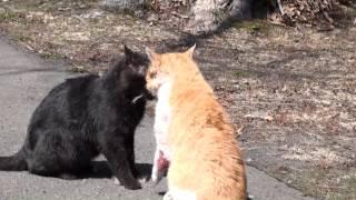getlinkyoutube.com-野良猫の喧嘩 (出血がありますので注意) Cat Fight