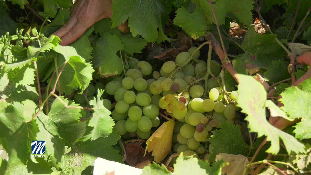 El esperanzador futuro de los vinos manilveños