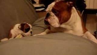 getlinkyoutube.com-English Bulldog Father meets daughter first time