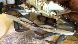 getlinkyoutube.com-Backyard Crab Farm Update - Freezing Blue Crabs Tutorial