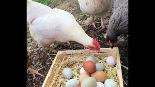 getlinkyoutube.com-Самые выгодные куры в птичьем хозяйстве!