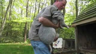 getlinkyoutube.com-Flemish Giant rabbits dwarf Centerville!