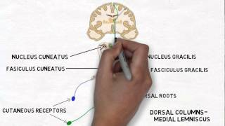 getlinkyoutube.com-2-Minute Neuroscience: Touch and the Dorsal Columns-Medial Lemniscus