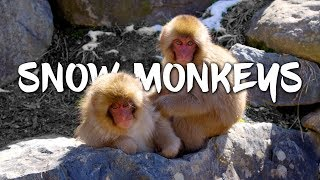getlinkyoutube.com-Snow Monkeys in Japan 5K Retina 60p (Ultra HD)