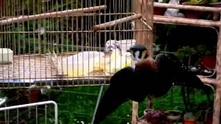 cernicalo comiendo canario