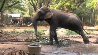 getlinkyoutube.com-Musth elephants in anakkotta Guruvayoor