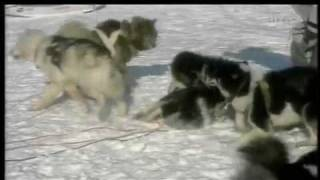 getlinkyoutube.com-WOLVES VS HUMANS & SLED-DOGS