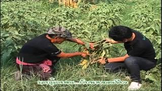 รอบรู้เกษตร ไร่ลุงคิมมะเขือ 9/10
