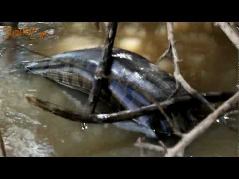 Anaconda Gigante - Rio Turvo-SP