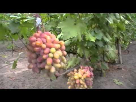 Виноград у Дубинского Л.И. из Изюма