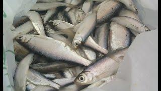 getlinkyoutube.com-9 января 2015. Зимняя рыбалка. Бешеный клев уклейки на мормышку.