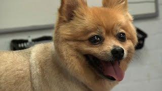 getlinkyoutube.com-Grooming Guide - Pomeranian Pet/Clipped Trim - Pro Groomer