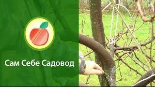 getlinkyoutube.com-Формирование кроны груши