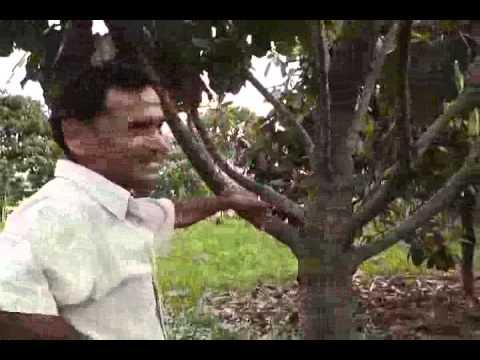 castanha da india atalaia parte 02