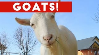 Funniest Cute Goat Video Compilation January 2017 | Funny Pet Videos