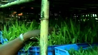 getlinkyoutube.com-Production of Green Fodder By Hydroponic Method Dist-Satara