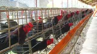 getlinkyoutube.com-การเลี้ยงไก่