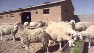getlinkyoutube.com-الجزائـــر الزراعة المائية اسـتـنـبـات الشـعـيـر 7 Hydroponics barley breeding