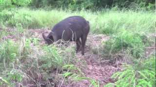 getlinkyoutube.com-Hog hunting with a Recurve!!