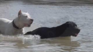 getlinkyoutube.com-Dogo Argentino vs Labrador
