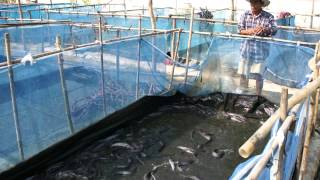 getlinkyoutube.com-เลี้ยงปลาดุก ด้วยกระชังบนดิน (3)