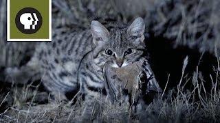 Meet the Deadliest Cat on the Planet width=