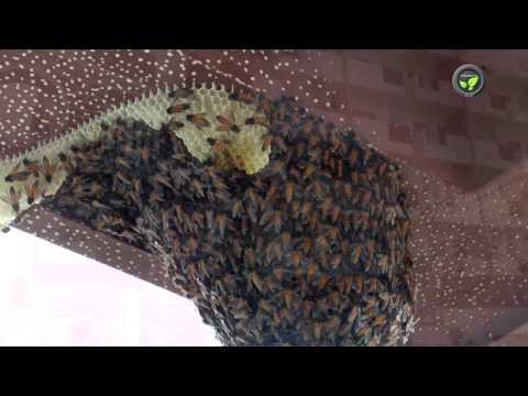 Vacating Rock bee Colony from Shrinilayam apartment