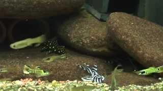 getlinkyoutube.com-Zebra Pleco L46 L046 L397 L029 1080P