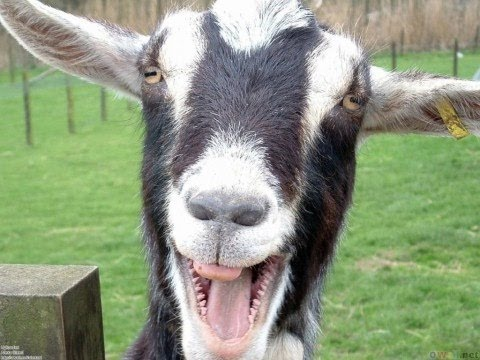 Funny Goats Screaming like Humans