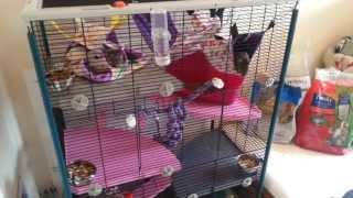 getlinkyoutube.com-Guinea Pig, Rat Room Tour + Diet and Treats